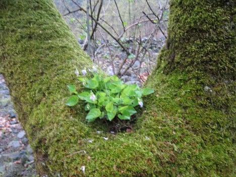 ağaç yosunu