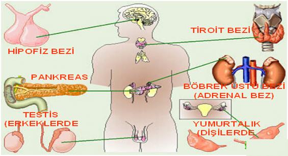 http://www.fenokulu.net/hormonlar.jpg